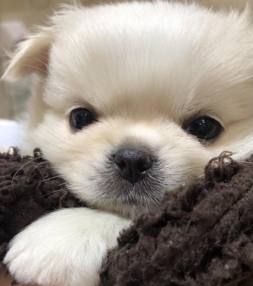 ざわちんが一目惚れした 激かわチワワとペキニーズのミックス犬